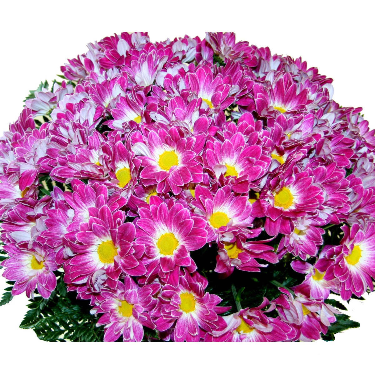 Букет 75 розови хризантеми
